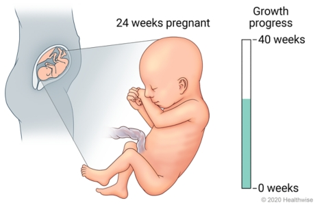 Fetus in uterus, with detail of development at 24 weeks pregnant