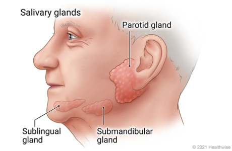 Location of sublingual, submandibular, and parotid salivary glands under tongue, under jaw, and close to ear.