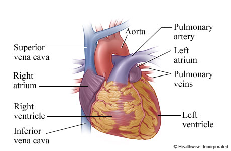The anatomy of the heart (outer view)