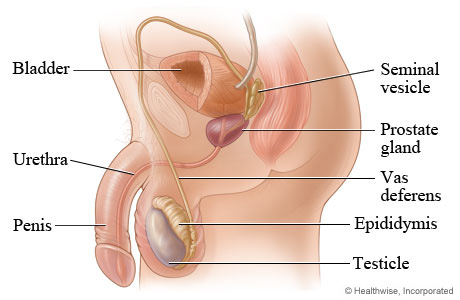 Picture of the male reproductive system