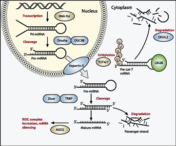 Diagram showing the miRNA processing pathway, which is commonly mutated in Wilms' tumor.