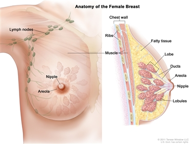 Drawing of female breast anatomy showing the lymph nodes, nipple, areola, chest wall, ribs, muscle, fatty tissue, lobe, and ducts.