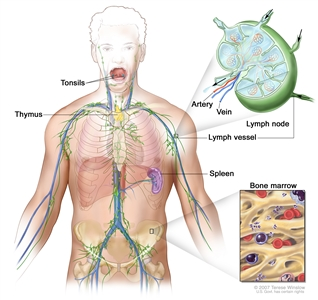 Lymph system; drawing shows the lymph vessels and lymph organs including the lymph nodes, tonsils, thymus, spleen, and bone marrow. One inset shows the inside structure of a lymph node and the attached lymph vessels with arrows showing how the lymph (clear fluid) moves into and out of the lymph node. Another inset shows a close up of bone marrow with blood cells.