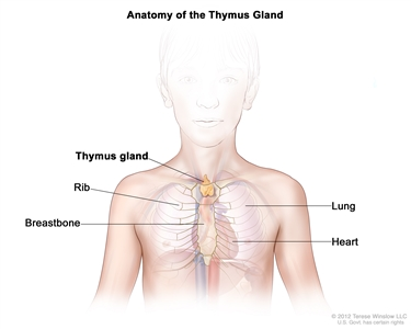 Anatomy of the thymus gland; drawing shows the thymus gland in the upper chest under the breastbone. Also shown are the ribs, lungs, and heart.