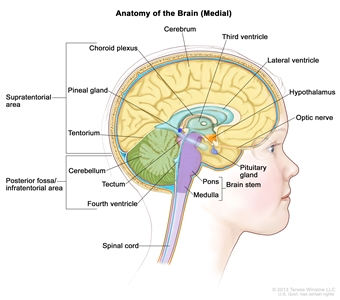 Drawing of the inside of the brain showing the lateral ventricle, third ventricle, and fourth ventricle, cerebrum, choroid plexus, hypothalamus, pineal gland, pituitary gland, optic nerve, tentorium, cerebellum, brain stem, pons, medulla, and spinal cord.