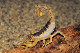 Photo of a scorpion