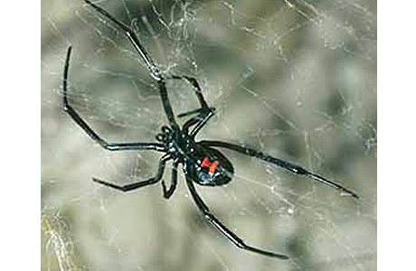 Photo of a black widow spider.