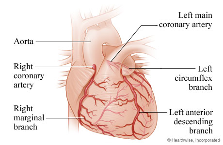 Picture of the heart and the coronary arteries: front view