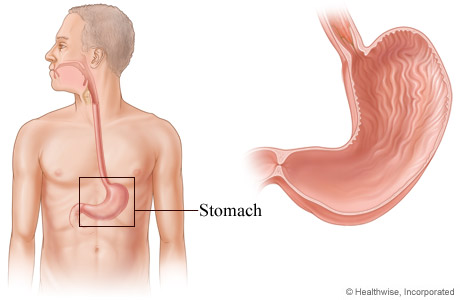 Picture of the stomach and its location in the body