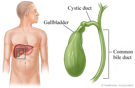 Gallbladder, cystic duct, and common bile duct