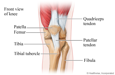 Picture of the bones and tendons of the knee
