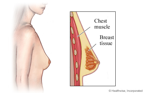 Picture of breast anatomy