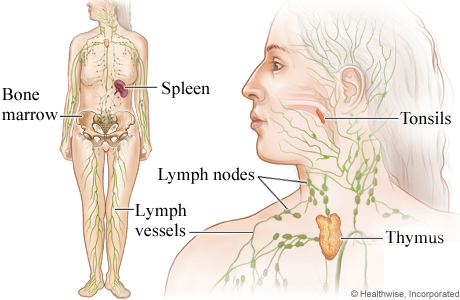 Picture of the lymph system