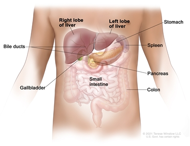 Anatomy of the liver; drawing shows the right and left front lobes of the liver, bile ducts, gallbladder, stomach, spleen, pancreas, colon, and small intestine. The two back lobes of the liver are not shown.