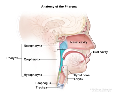 Anatomy of the pharynx; drawing shows the nasopharynx, oropharynx, and hypopharynx. Also shown are the nasal cavity, oral cavity, esophagus, trachea, and larynx.