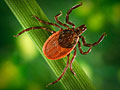 Western black-legged tick